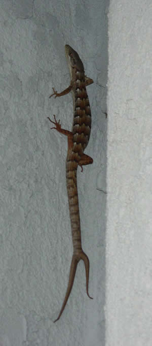 two tailed alligator lizard