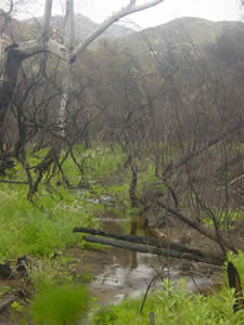 burned trees along creek